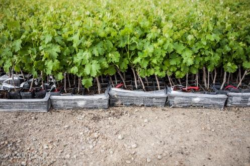 vines1