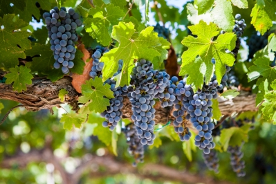 vineyardshoot-12