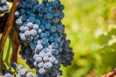 vineyardshoot-27
