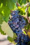 vineyardshoot-29