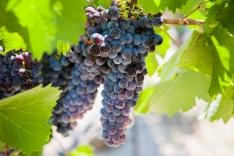 vineyardshoot-32