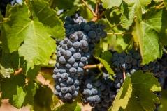 vineyardshoot-40