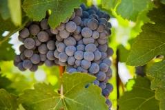 vineyardshoot-41
